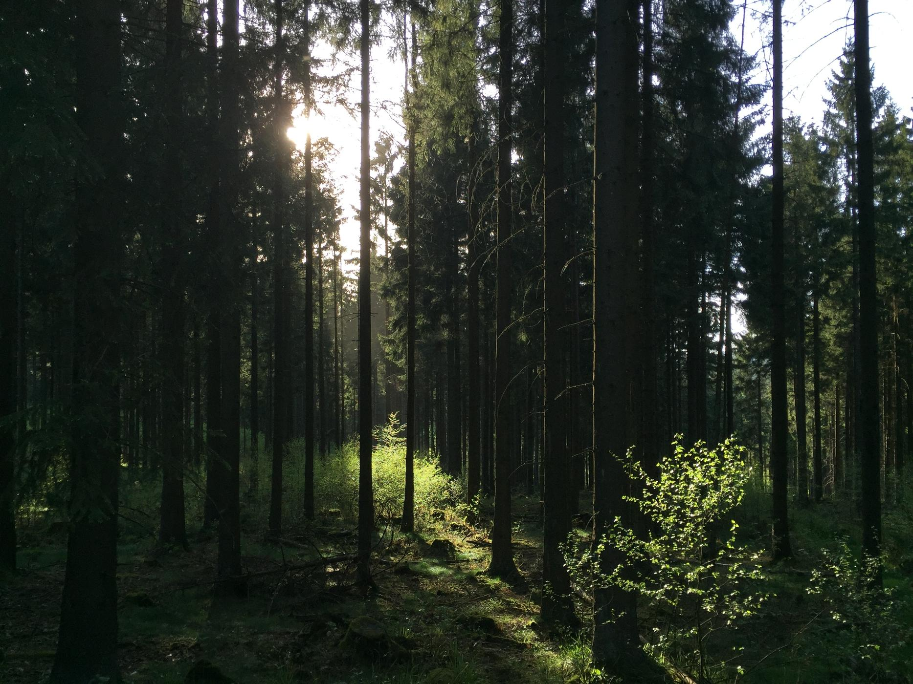 Petersborn forest